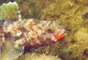 Mali-Drachenkopf